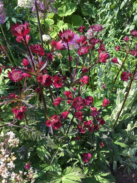 1 x Astrantia Hadspen Blood - 9cm Pot - PRE-ORDER NOW FOR SPRING DELIVERY