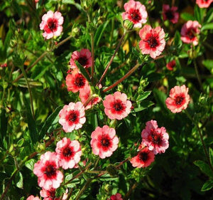 1 x POTENTILLA MISS WILLMOTT - 9cm Pot