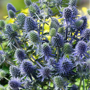 1 x ERYNGIUM Blue Hobbit - 9cm Pot - PRE-ORDER NOW FOR SPRING DELIVERY