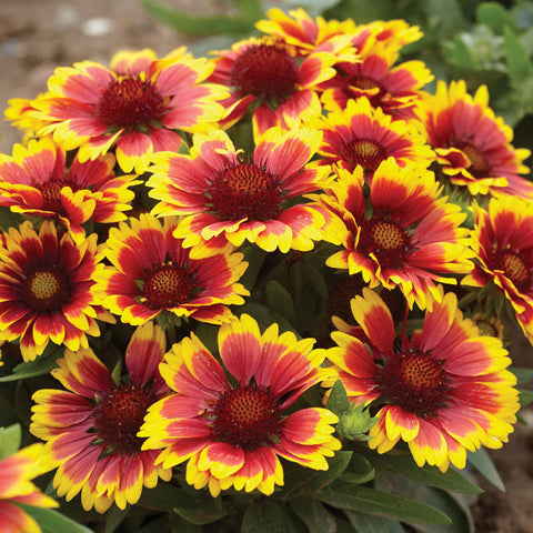 1 x GAILLARDIA Arizona Sun - 9CM POT - PRE-ORDER NOW FOR SPRING DELIVERY