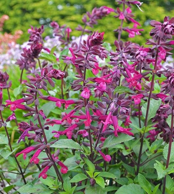 1 x Salvia 'Love and Wishes' - 9cm Pot - PRE-ORDER NOW FOR SPRING DELIVERY