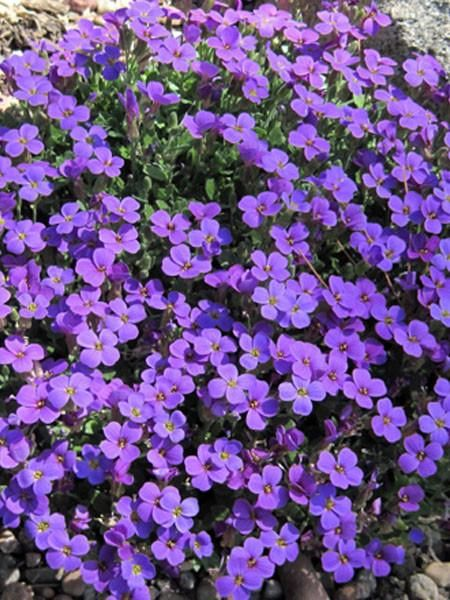 1 x AUBRIETA Royal Violet - 9cm Pot