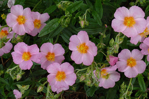 1 x HELIANTHEMUM Lawrensons Pink - 9cm Pot