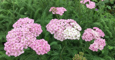 1 x Achillea Apfelblüte - 9cm Pot - PRE-ORDER NOW FOR SPRING DELIVERY