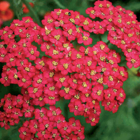 1 x ACHILLEA millefolium Cherry Queen - 9cm Pot