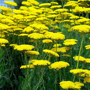1 x Achillea 'Coronation Gold' - 9cm Pot