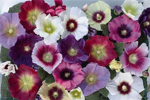 1 x Alcea (Hollyhock) Halo Mixed - 9cm Pot