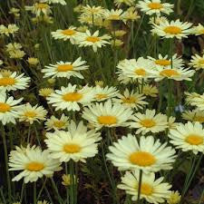 1 x Anthemis tinctoria E C Buxton - 9cm Pots - PRE-ORDER NOW FOR SPRING DELIVERY