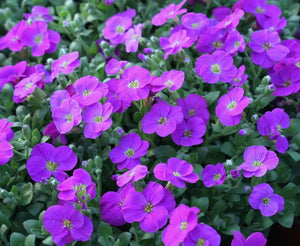1 x AUBRIETA Hy Audrey Light Blue - 9cm Pot