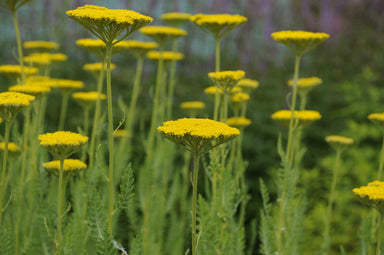 1 x Achillea 'Gold Plate' - 9cm Pot - PRE-ORDER NOW FOR SPRING DELIVERY