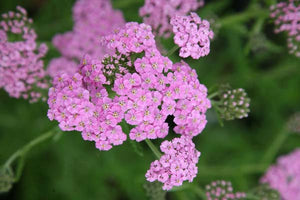 1 x Achillea 'Lilac Beauty' – 9cm Pot