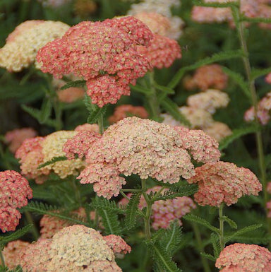 1 x Achillea Lachsschönheit - 9cm Pot - PRE-ORDER NOW FOR SPRING DELIVERY