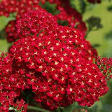 1 x Achillea 'Red Velvet' - 9cm pot - PRE-ORDER NOW FOR SPRING DELIVERY