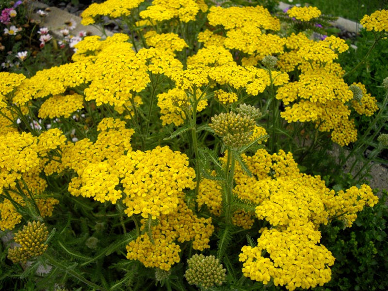 1 x ACHILLEA Tomentosa - 9cm Pot - PRE-ORDER NOW FOR SPRING DELIVERY