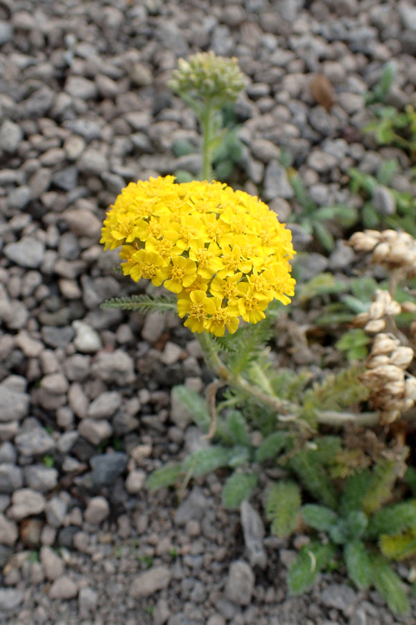1 x Achillea tomentosa 'Golden Fleece' - 9cm pot