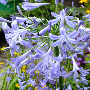1 x Agapanthus Blue Umbrella - 9cm Pot