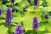 1 x Agastache 'Golden Jubilee' – 9cm Pot