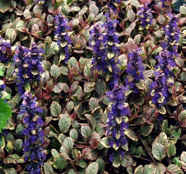 1 x AJUGA reptans Burgundy Glow - 9cm Pot - PRE-ORDER NOW FOR SPRING DELIVERY