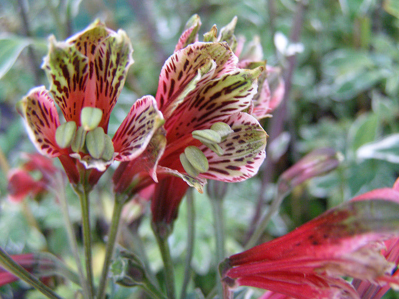 1 x Alstroemeria p. 'Royal Star' - 9cm Pot - PRE-ORDER NOW FOR SPRING DELIVERY