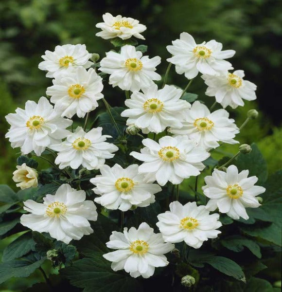 1 x ANEMONE x hybrida Whirlwind - 9cm Pot - PRE-ORDER NOW FOR SPRING DELIVERY