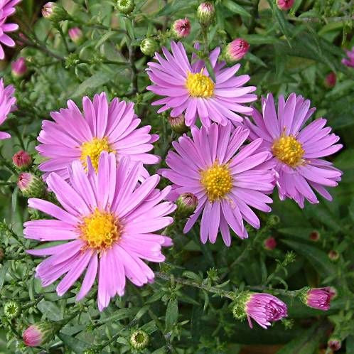 1 x ASTER novi-belgii Little Pink Beauty - 9cm Pot