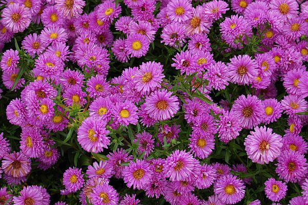 1 x Aster novi-belgii Patricia Ballard - 9cm Pot - PRE-ORDER NOW FOR SPRING DELIVERY