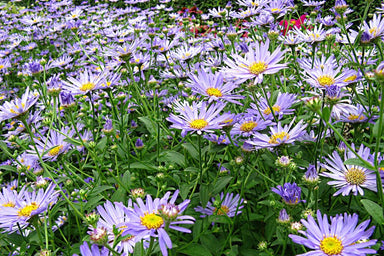 1 x ASTER x frikartii Monch - 9cm Pot - PRE-ORDER NOW FOR SPRING DELIVERY