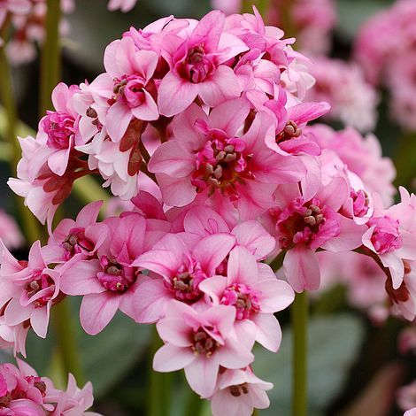 1 x Bergenia 'Pink Dragonfly' - 9cm Pot - PRE-ORDER NOW FOR SPRING DELIVERY