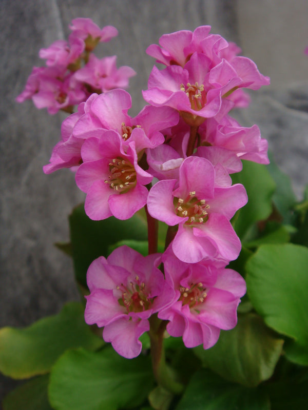 1 x Bergenia 'Kerstin' - 9cm Pot - PRE-ORDER NOW FOR SPRING DELIVERY