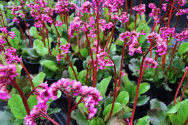 1 x Bergenia Winterglow - 9cm Pot