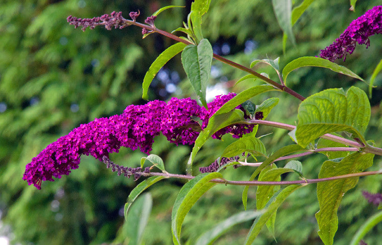 1 x Buddleja davidii Royal Red - 9cm Pot