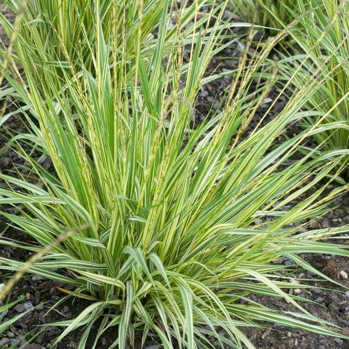 1 x Molinia caerulea 'Variegata' - 9cm Pot - PRE-ORDER NOW FOR SPRING DELIVERY