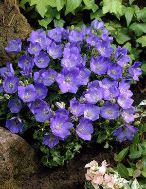 1 x Campanula carpatica blue - 9cm Pot