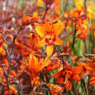 1 x Crocosmia x crocosmiiflora Emily McKenzie - 9cm Pot - PRE-ORDER NOW FOR SPRING DELIVERY