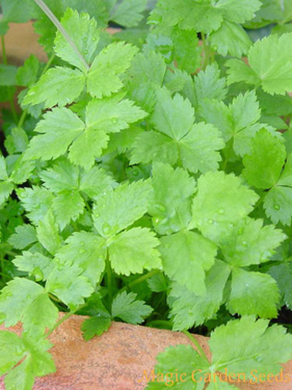 1 x Parsley Japanese - Cryptotaenia japonica  - 9cm Pot