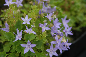 1 x CAMPANULA garganica Major - 9cm Pot