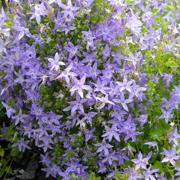 1 x CAMPANULA garganica Filligree - 9cm Pot - PRE-ORDER NOW FOR SPRING DELIVERY
