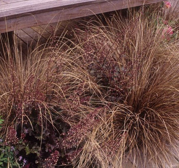 1 x CAREX buchananii Red Rooster - 9cm Pot