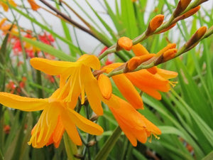 1 x Crocosmia xc. 'Coleton Fishacre' - 9cm Pot