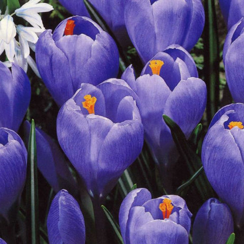 CROCUS Large Flowered blue 7/8cm - x 12 Bulbs