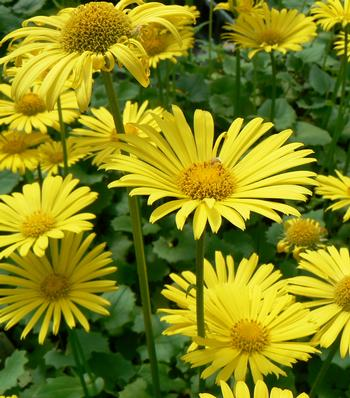 1 x DORONICUM orientale Little Leo - 9cm Pot