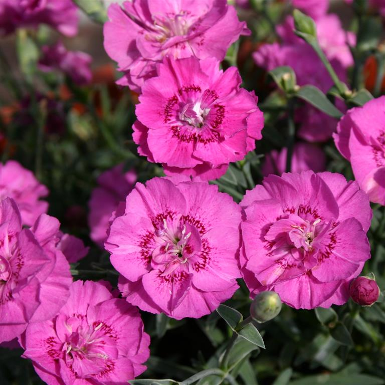 1 x DIANTHUS Shooting Star - 9cm Pot - PRE-ORDER NOW FOR SPRING DELIVERY