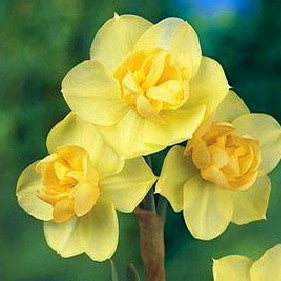NARCISSUS Yellow Cheerfulness 10/12cm - x 7 Bulbs