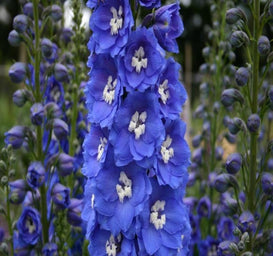 1 x DELPHINIUM Blue Bird - 9cm Pot - PRE-ORDER NOW FOR SPRING DELIVERY
