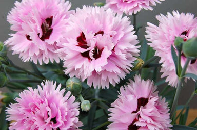1 x DIANTHUS Early Bird Fizzy - 9cm Pot