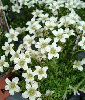 1 x SAXIFRAGE x arendsii White Carpet - 9cm Pot