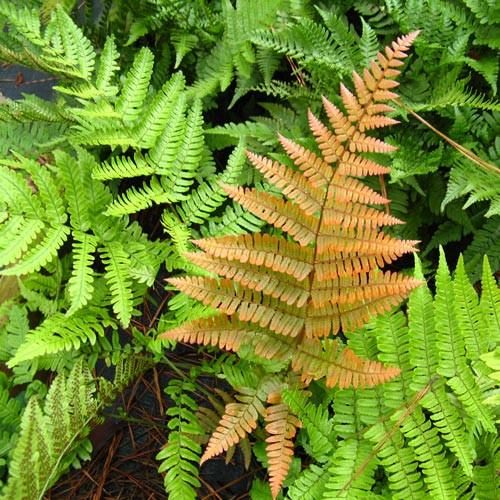 1 x Dryopteris erythrosora - 9cm Pot - PRE-ORDER NOW FOR SPRING DELIVERY