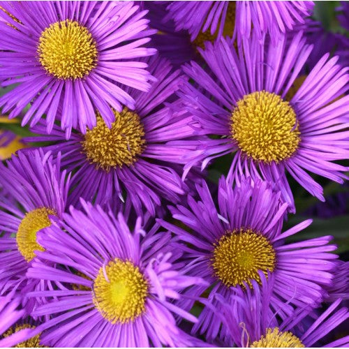 1 x Erigeron Dignity- 9cm Pot - PRE-ORDER NOW FOR SPRING DELIVERY