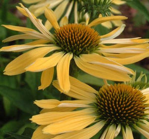 1 x ECHINACEA purpurea Mellow Yellows - 9cm Pot