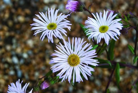 1 x Erigeron Quakeress - 9cm Pot - PRE-ORDER NOW FOR SPRING DELIVERY